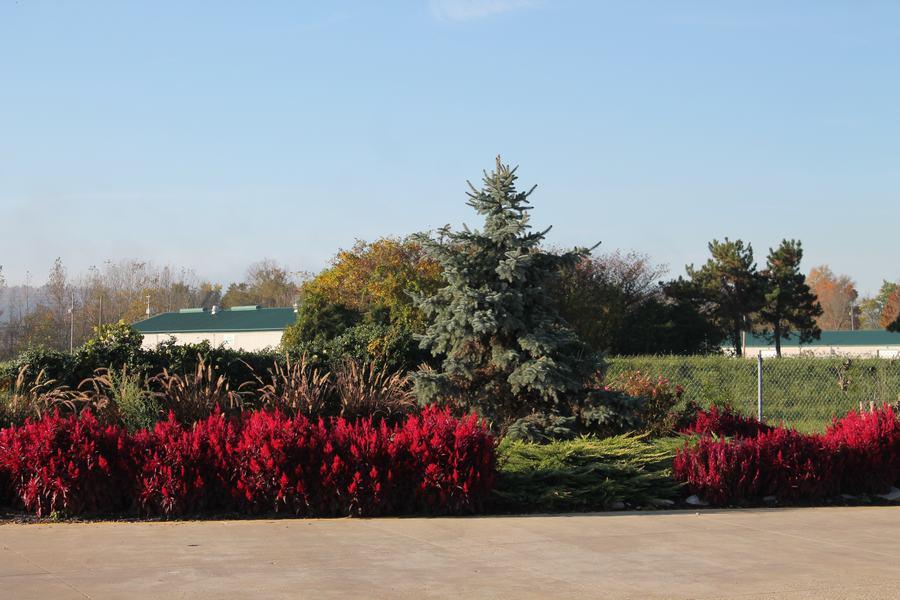 celosia dragons breath - Wilsons Garden Center