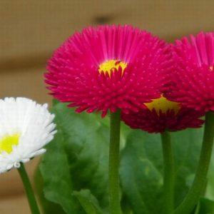 English Daisy Tasso Mix Flower