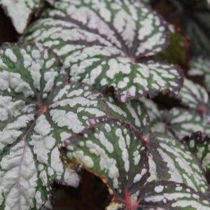 Begonia Rex Jurassic Green Streak