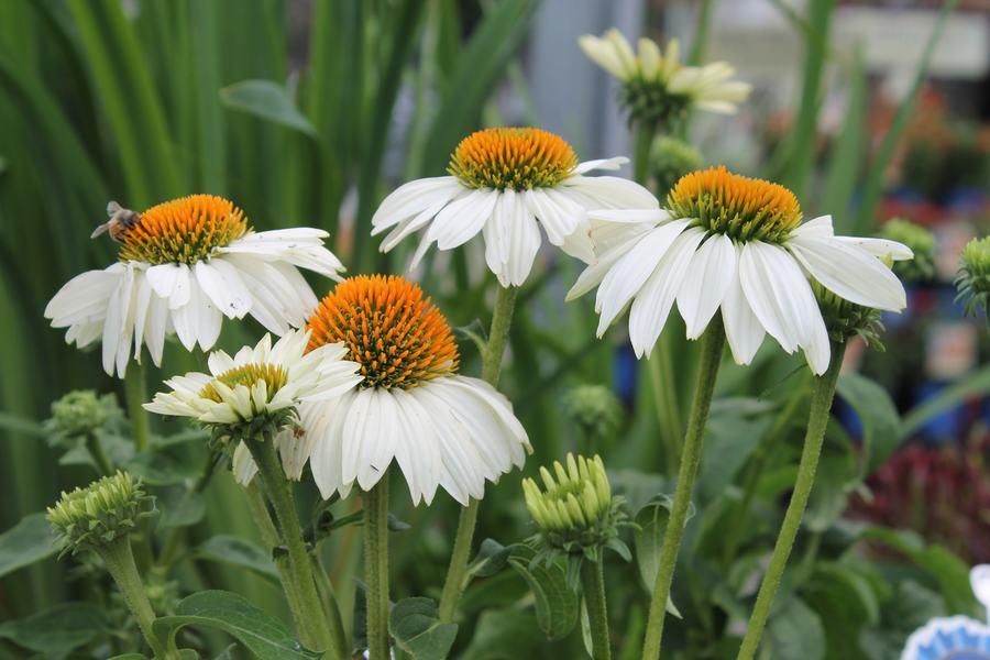Coneflower pow wow white wilsons garden center coneflower pow wow white mightylinksfo
