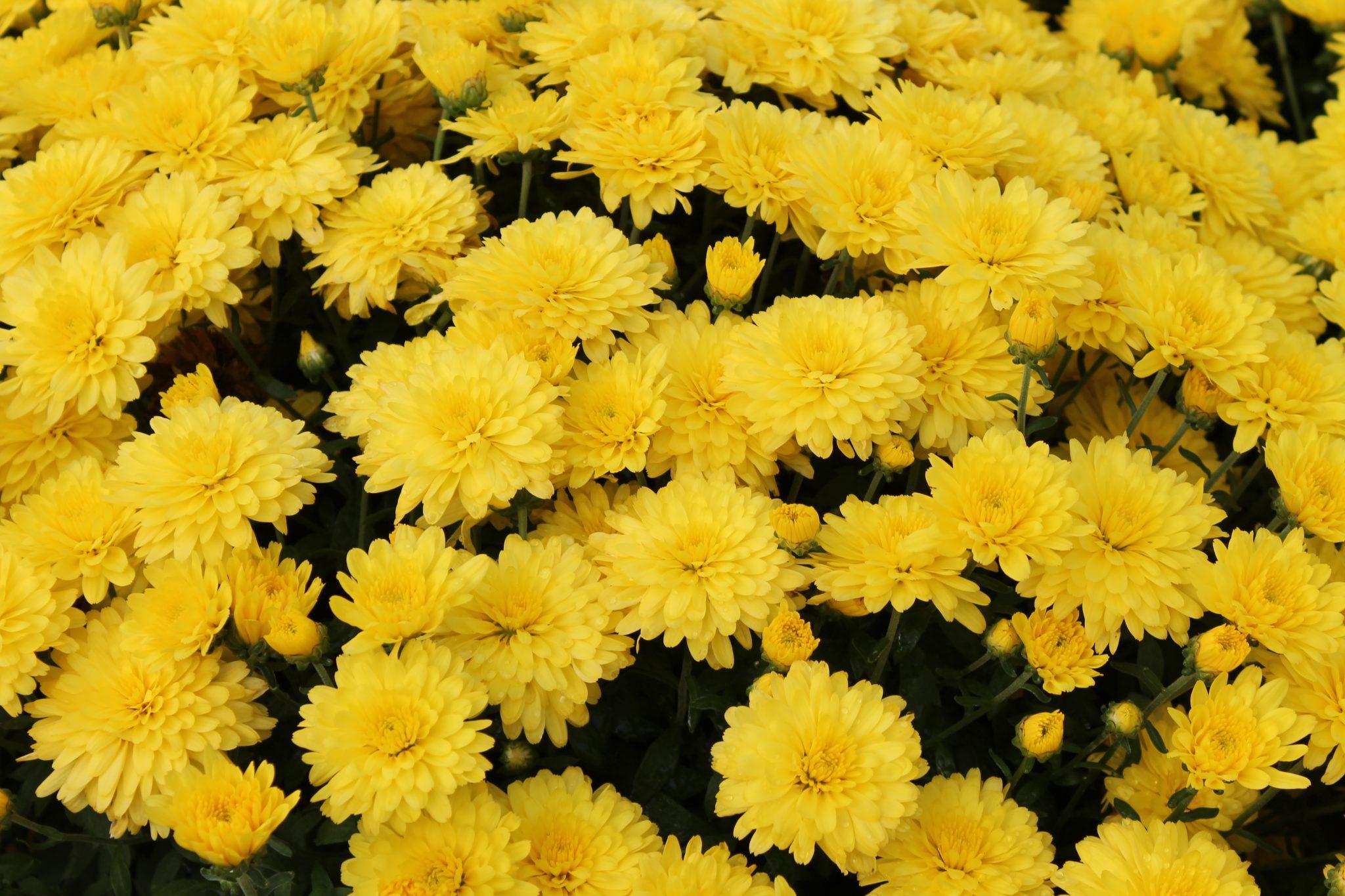 Garden Mum Allegra Yellow Wilsons Garden Center