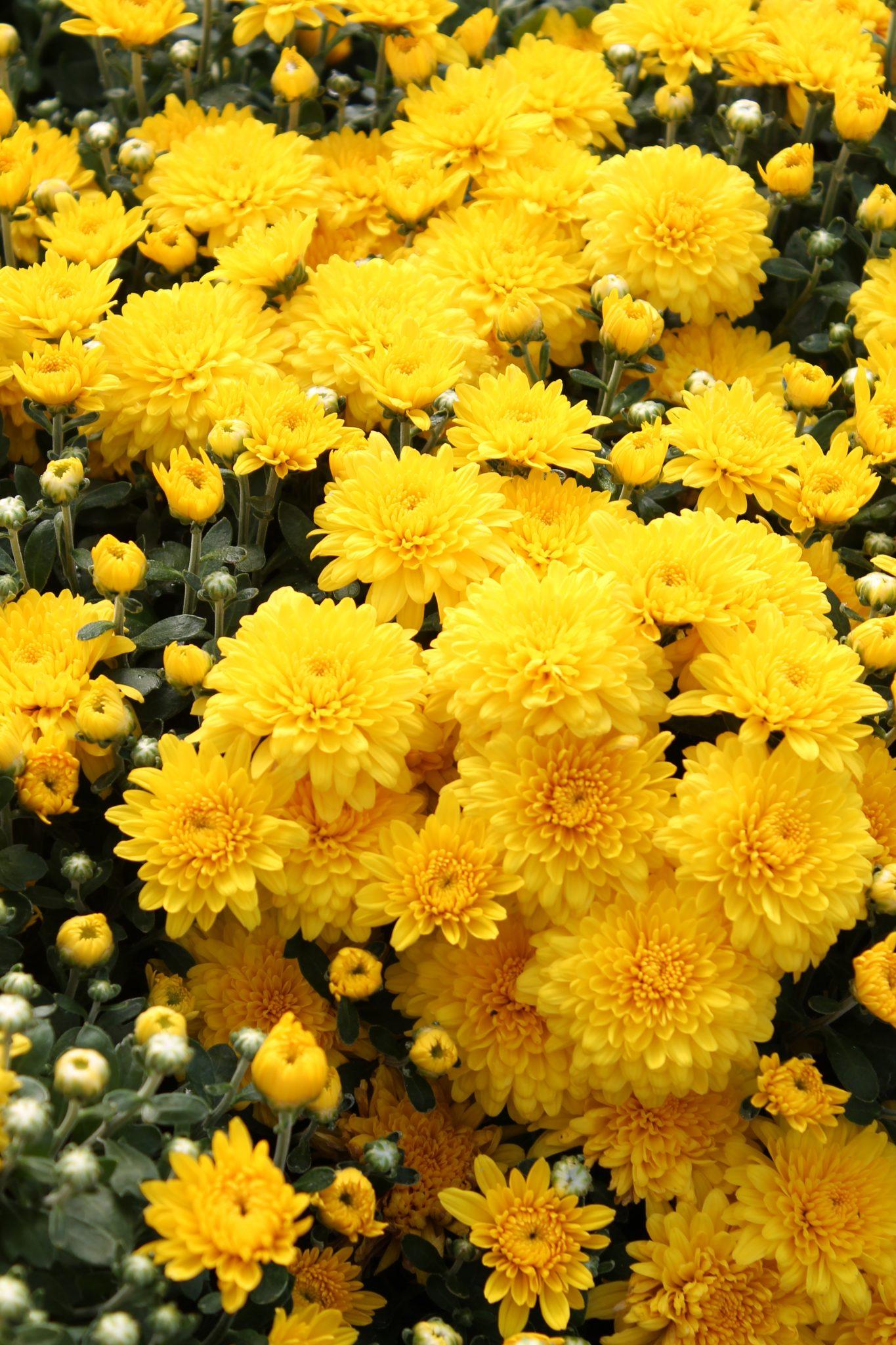Garden Mum U0027Mary Yellowu0027