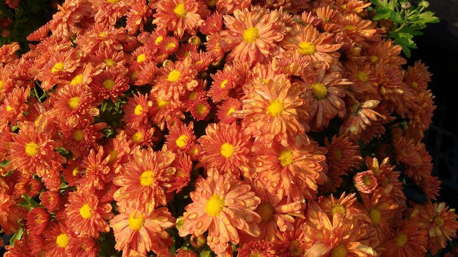 igloo garden mum pumpkin - Garden Mum