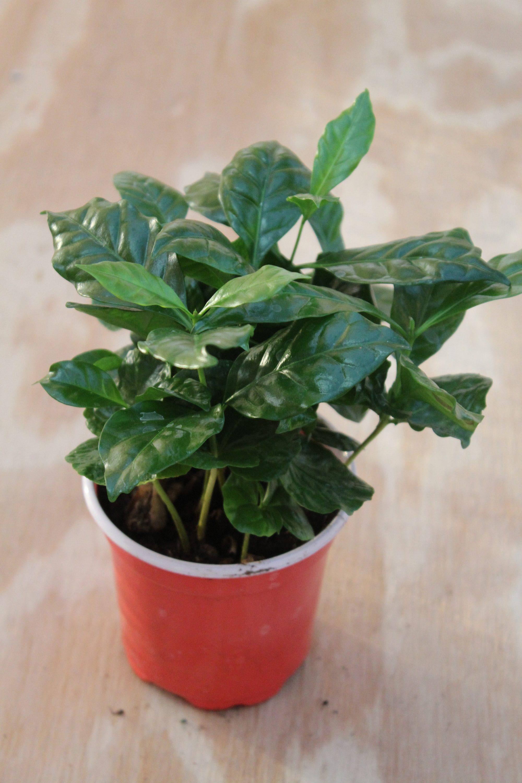 Coffee Plant 4 Inch Pot
