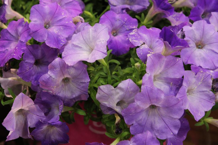 Petunia Easy Wave Lavender Sky Blue Basket Pack Wilson S