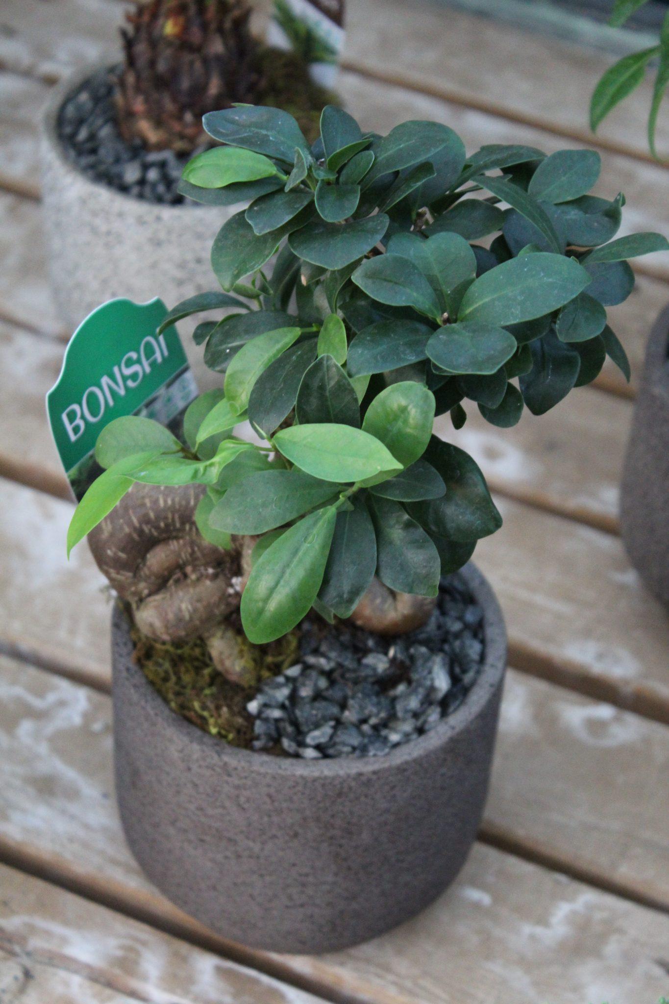 Bonsai 'Dora Pot' - Assorted Varieties