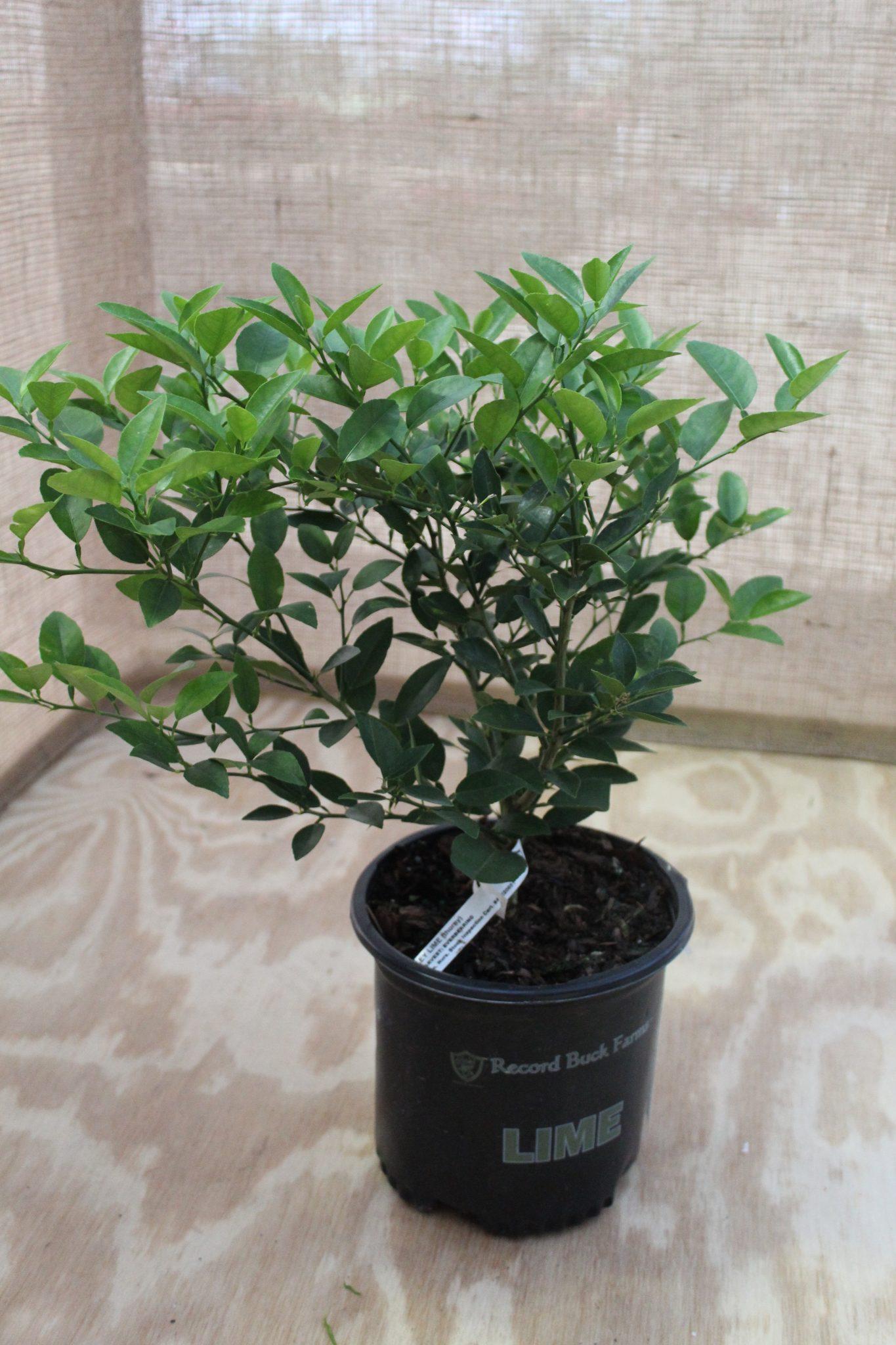 Citrus, Key Lime (Bush)
