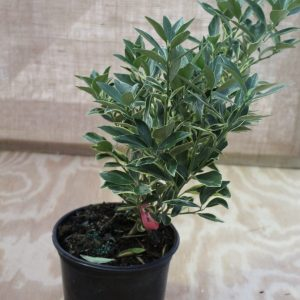 Citrus, Kumquat 'Centennial Variegated' (Bush)