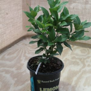 Citrus, Lemon 'Eureka' (Bush)