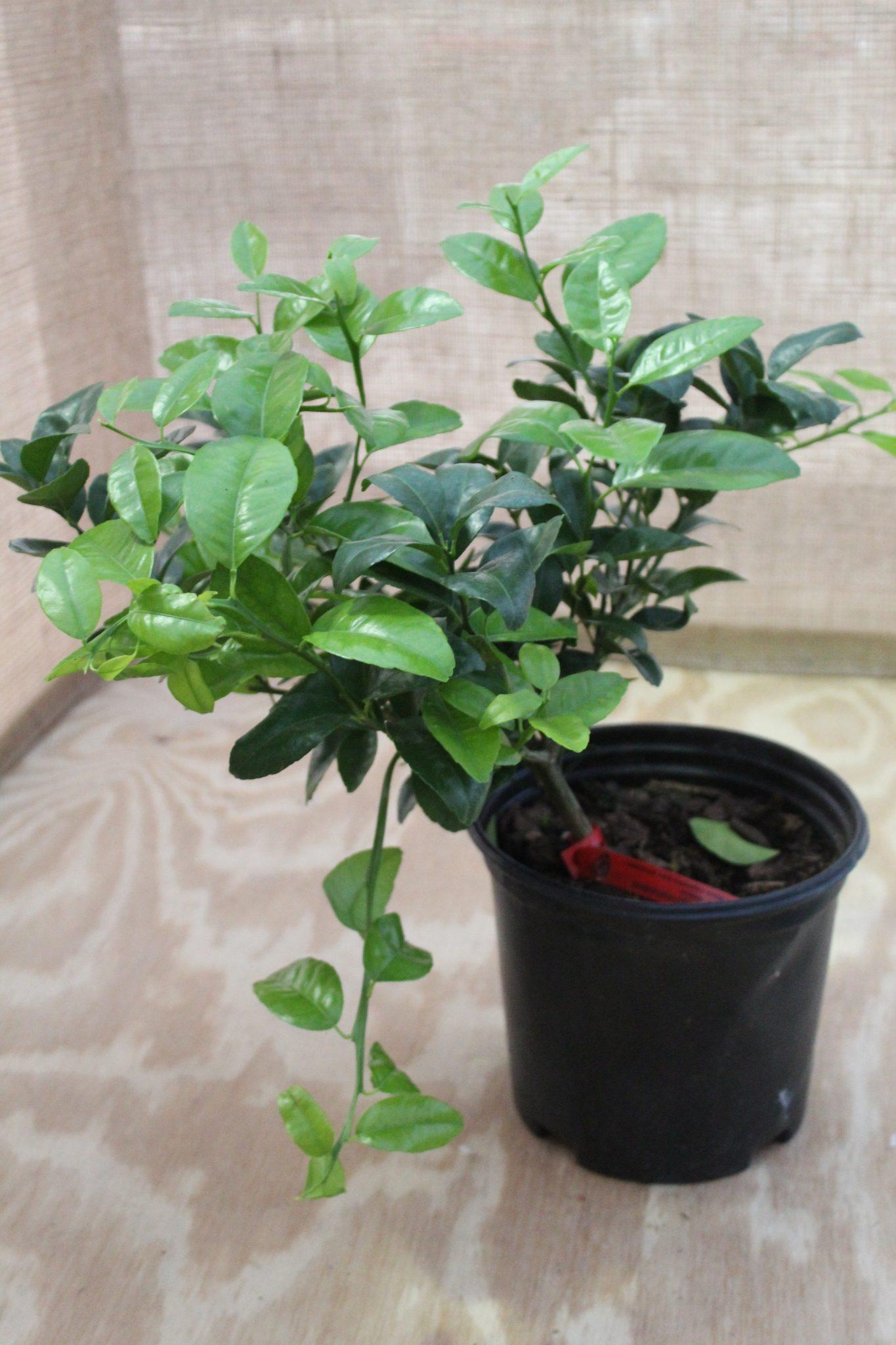 Citrus, Tangerine 'Murcott' (Bush)