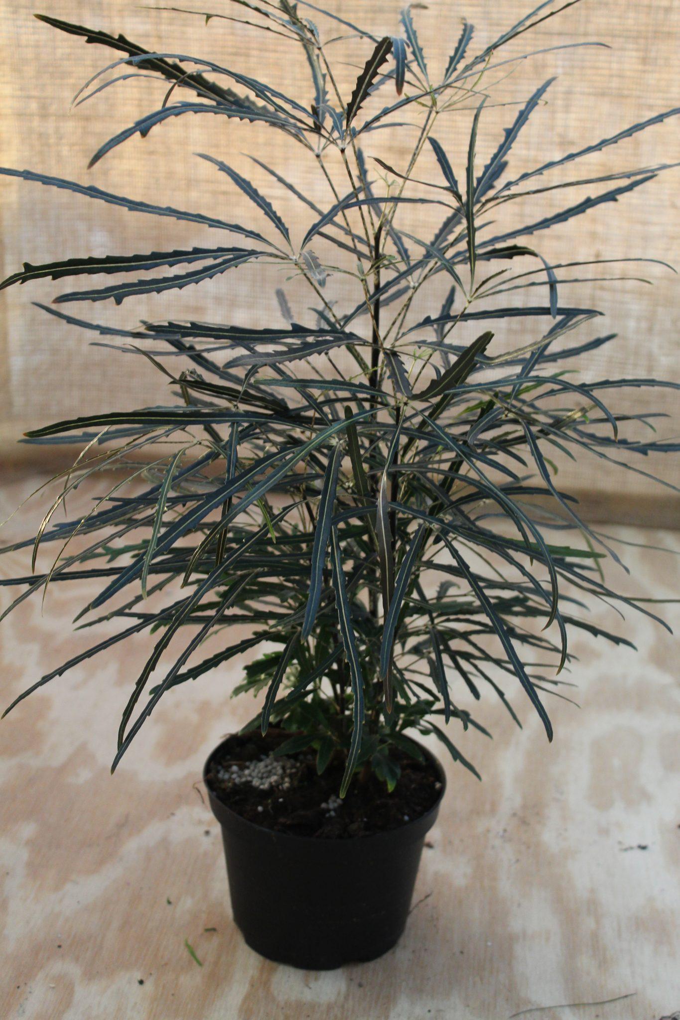 False Aralia 'Elegantissima' - 6 Inch Pot