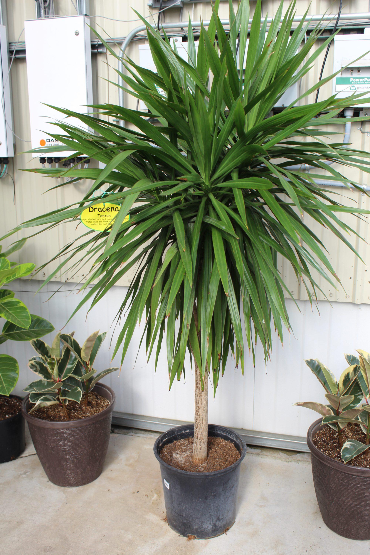 Dracaena 'Tarzan' (Tree) - 14 Inch Pot