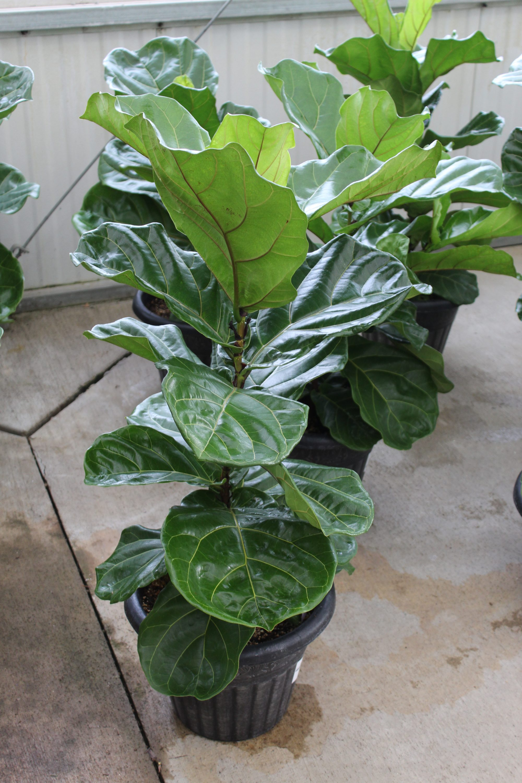 Ficus 'Fiddle Leaf' (Bush) - 13 Inch Pot