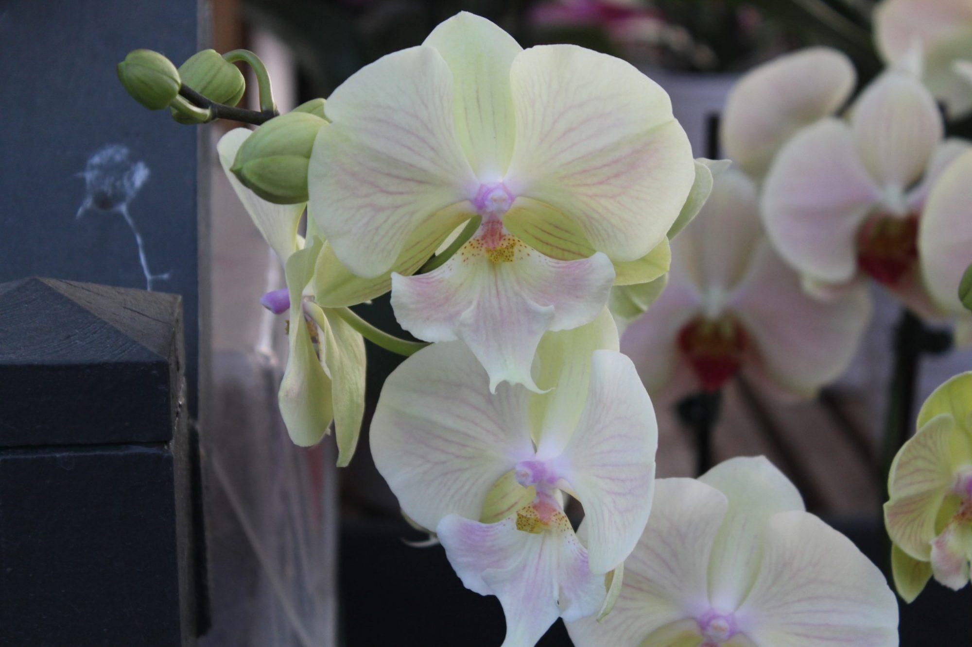 Orchid, Phalaenopsis (2 Spike)