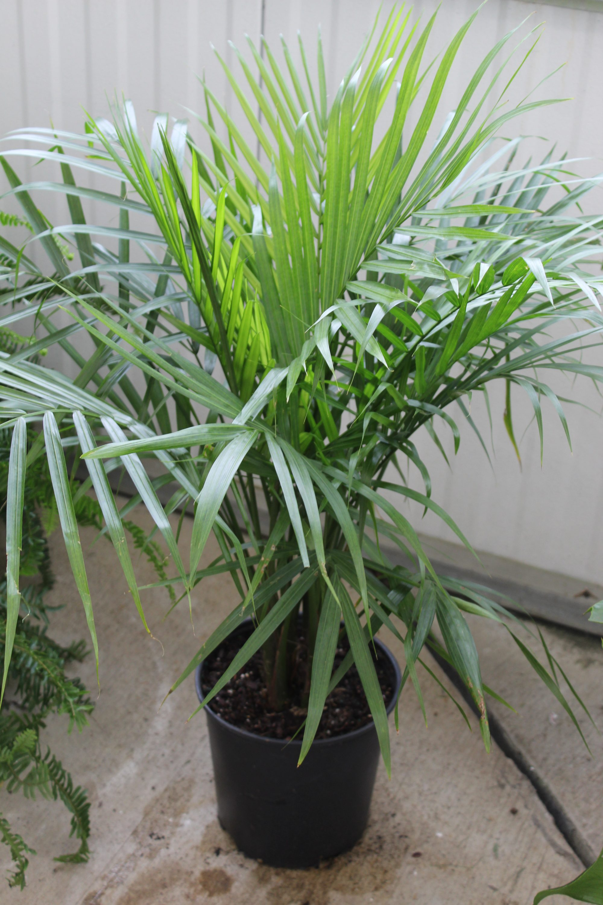 Palm 'Majesty' - 10 Inch Pot