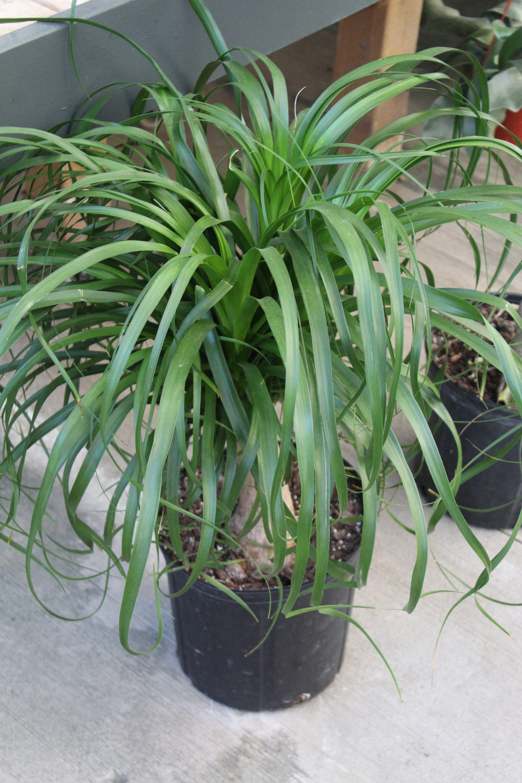 Palm 'Ponytail' - 10 Inch Pot