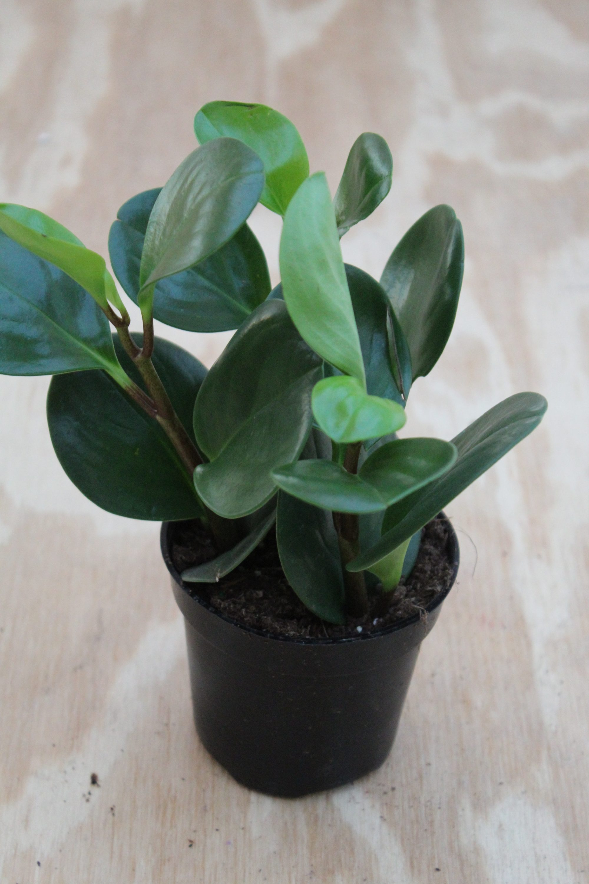 Peperomia 'Assorted' - 4 Inch Pot