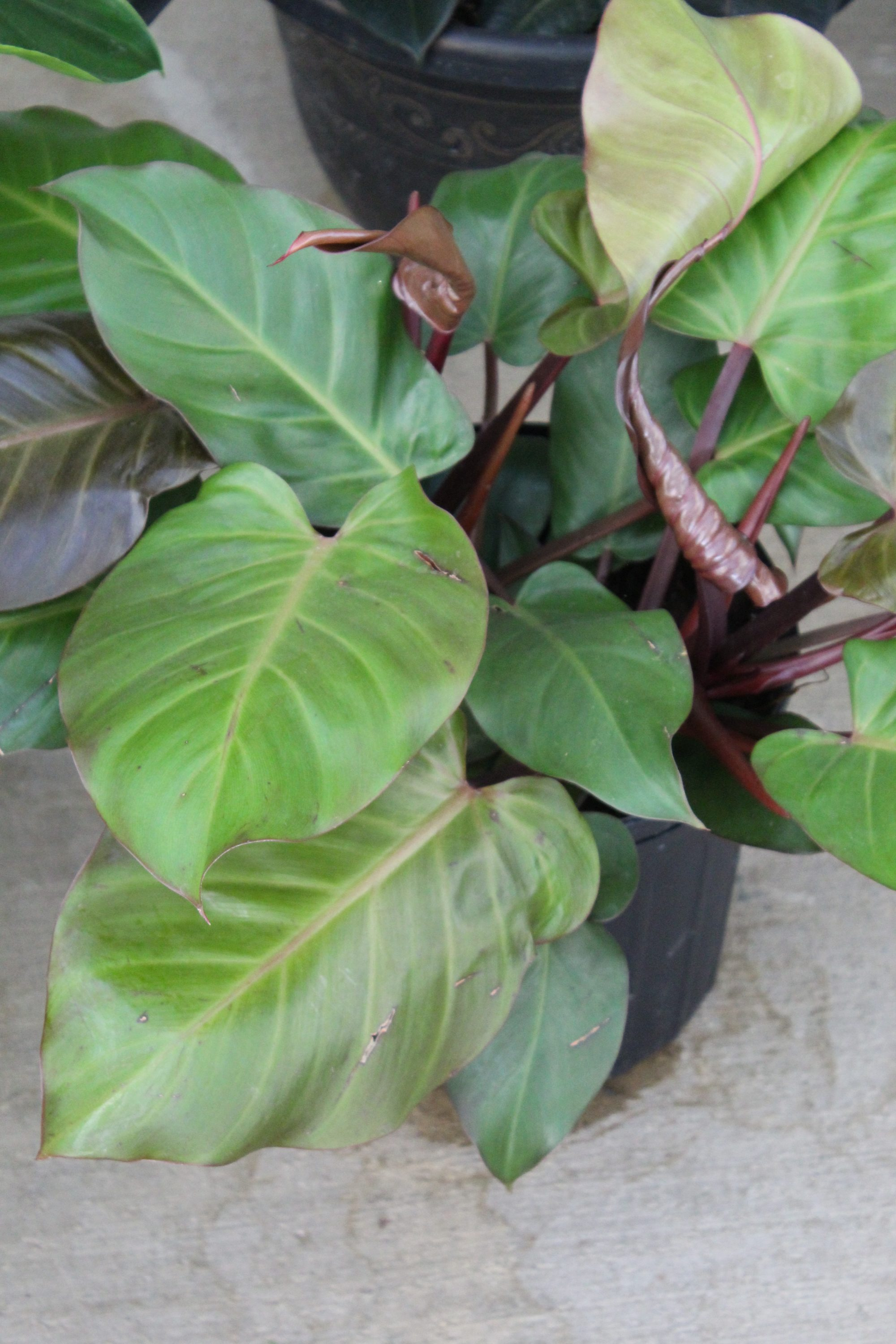 Philodendron 'McColley's Finale' -10 Inch Pot