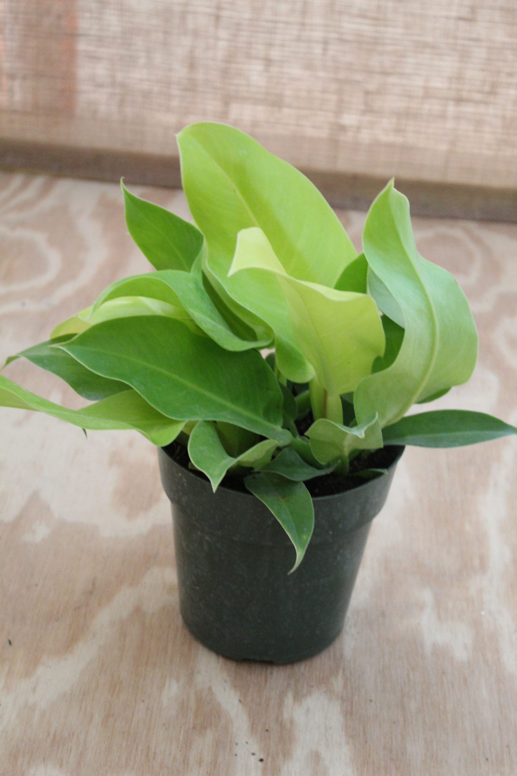 Philodendron 'Moonlight' - 6 Inch Pot