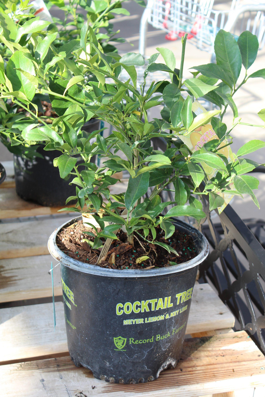 Citrus Cocktail 10 Inch Pot