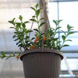 Goldfish Plant Hanging Basket