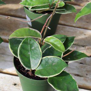 Hoya 'Krimson Queen' - 4 Inch Pot