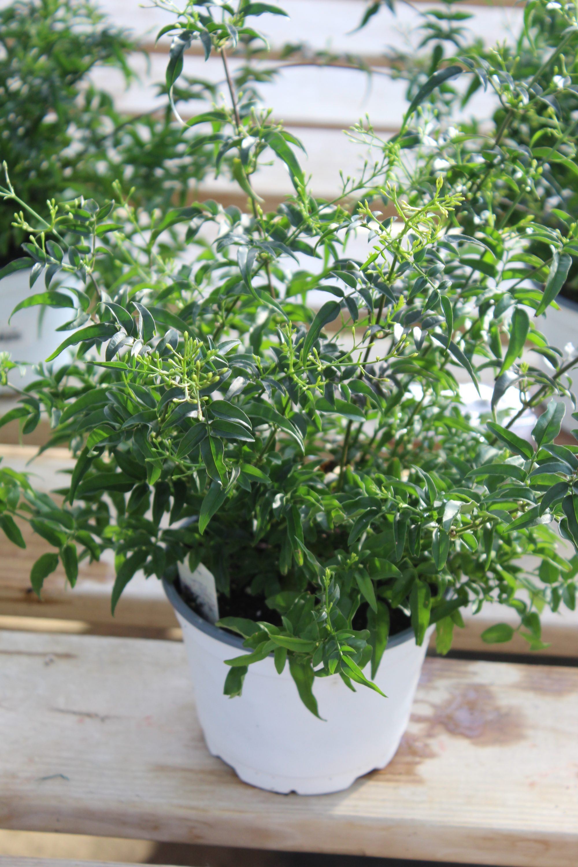 Jasmine - 6 Inch Pot