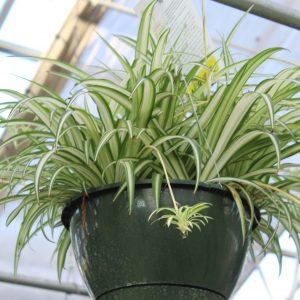 Spider Plant Variegated 10 Inch Hanging Basket