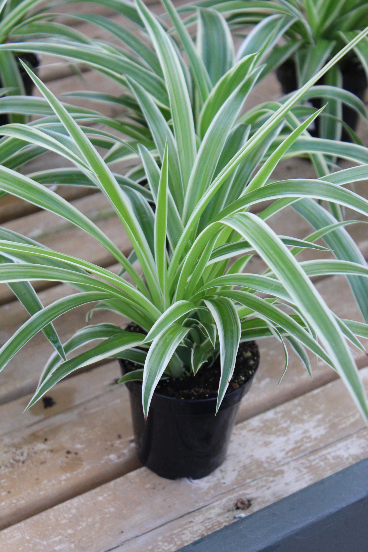 Spider Plant Variegated Ocean 3 5 Inch Pot Wilson S Garden Center