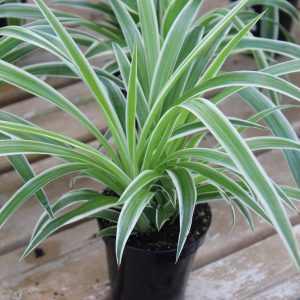 Spider Plant Variegated Ocean 3.5 Inch Pot